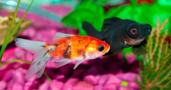 two goldfish in a home fish tank
