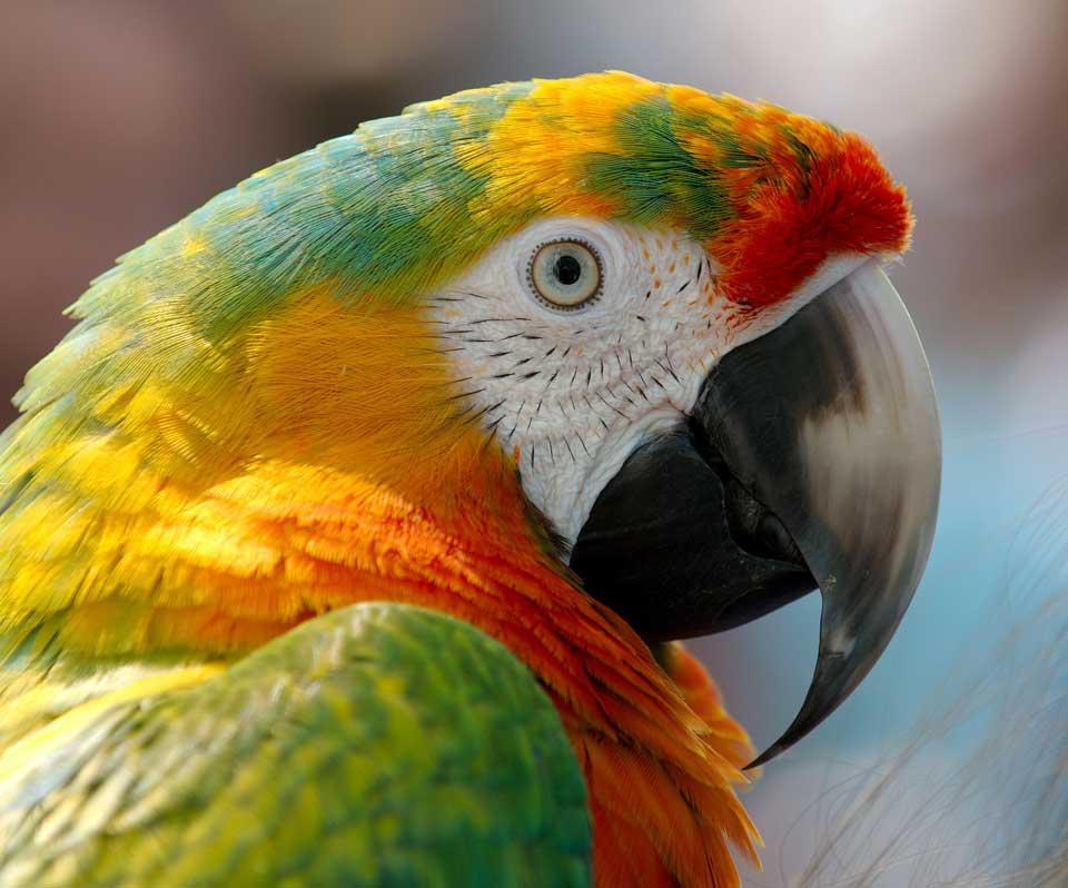 closeup of a pet parrot face
