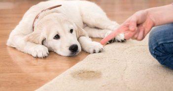 dog pee on a rug