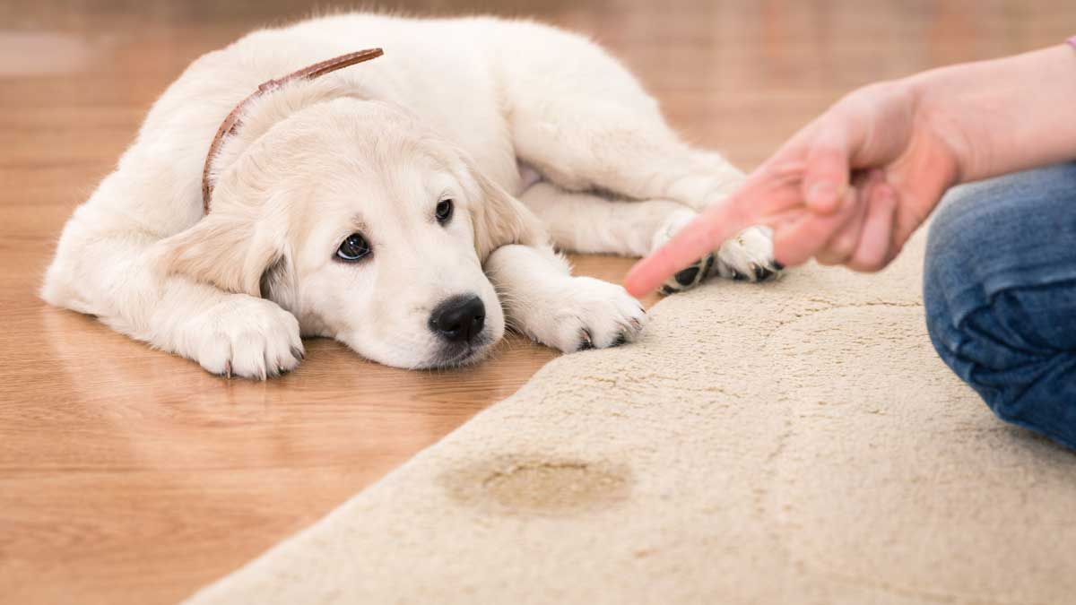 Removing Pet Urine From Wool Rugs Petsblogs