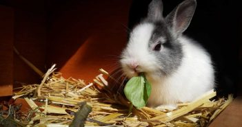 pet rabbit munching spinach in a hutch