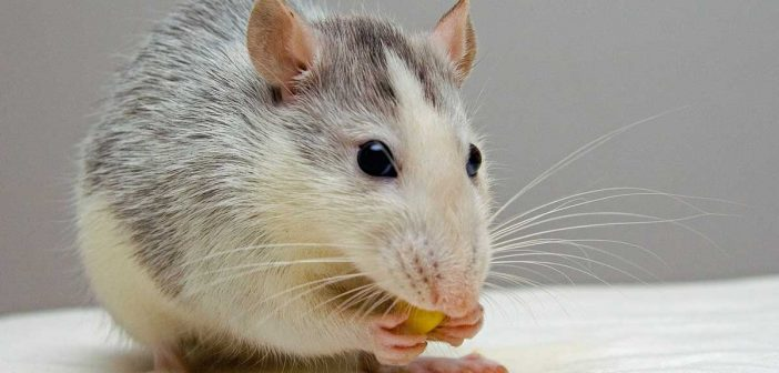 pet rat nibbling on a snack