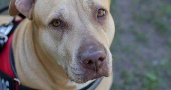 pit bull wearing a service dog vest