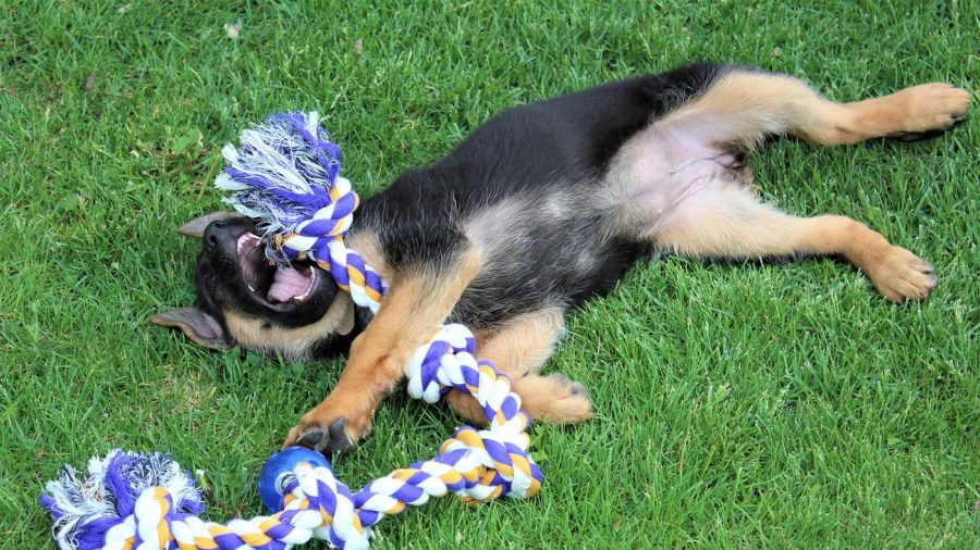 german shepherd puppy playing with a rope toy