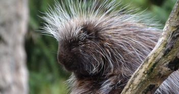 porcupine at a zoo