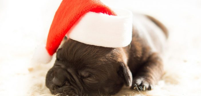 tiny puppy wearing a santa hat