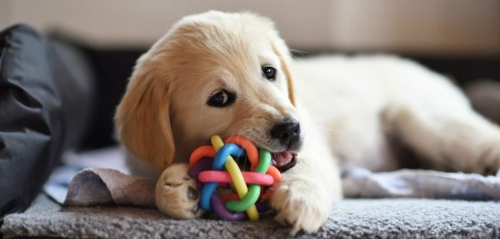 golden retreiver puppy chewing a colorful chew toy ball