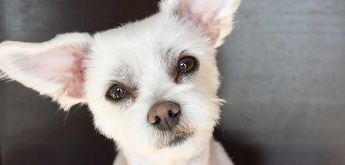 cute little white dog with puppy dog eyes looking straight at the reader