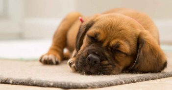 cute little puppy napping on a rug indoors