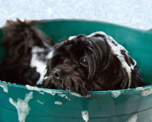 Little black dog getting a bath
