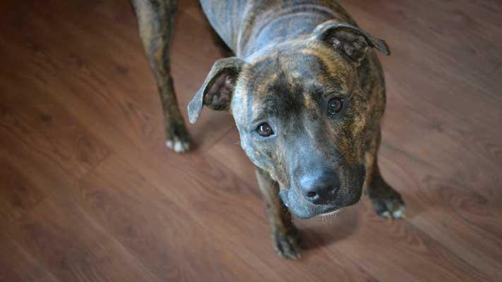 sensitive staffordshire bull terrier dog
