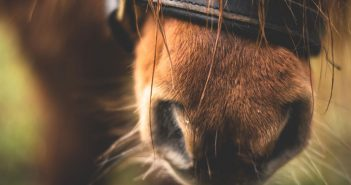 shetland pony muzzle closeup