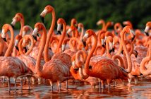 a group of flamingos standing in water