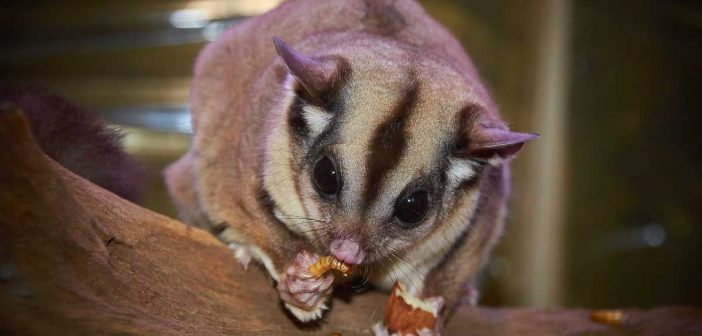 sugar glider nibbling snacks
