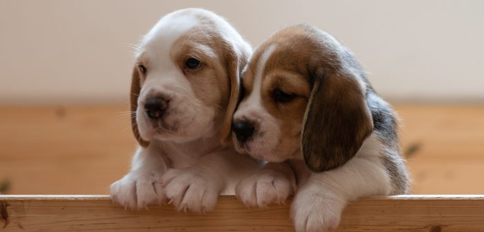 two sweet puppies looking out of a wooden crate