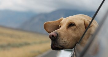photo of a large dog's head hanging out of a car window