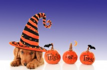 cute dog wearing a witches hat sitting next to three pumpkins