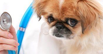 vet checking a dog's heart