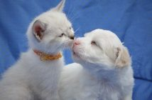 cute little white kitten touching noses with a cute little white puppy