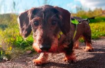 wire-haired dachshund on a leash looking into a camera lens