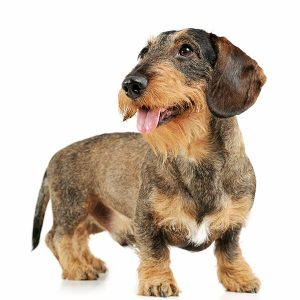 studio shot of a wire-haired Dachshund dog standing isolated on a white background
