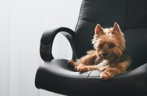 cute yorkie terrier laying in a black office chair