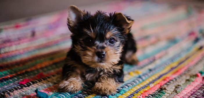 little yorkie puppy laying on a colorful rug